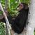 Les chimpanzés passent presque la moitié de leur temps à se nourrir. © Help Congo