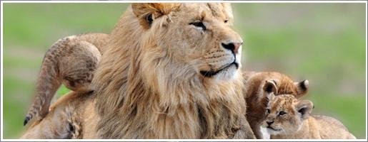4 lions abattus au zoo de Copenhague lions-actu-619