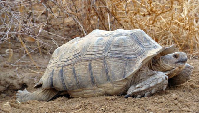 """4 grosses tortues """"centrochelys sulcata"""" partent au Sénégal. © Village des Tortues de Gonfaron"""