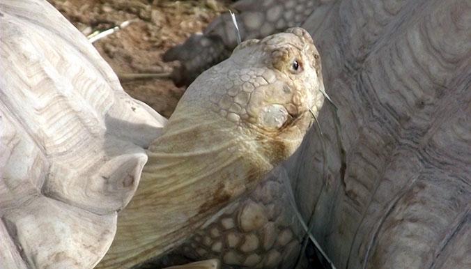 Les tortues vivront dans un climat plus adéquat au Sénégal. © Village des Tortues de Gonfaron