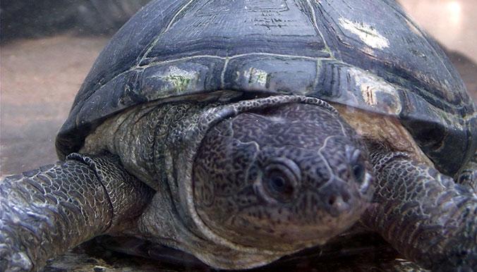 35 tortues saisies ou abandonnées sont rapatriées au Sénégal. © Village des Tortues de Gonfaron