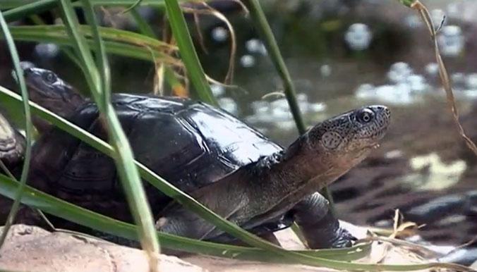 Des tortues d'eau font aussi partie du voyage ! © Village des Tortues de Gonfaron