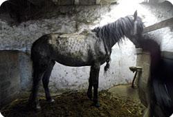 Le refuge a retiré 2 chiennes et participé au retrait de chevaux Chevaux-dordogne-actu
