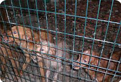 Maltraitance - Une trentaine de chiens de chasse confiés à la Fondation Saisie-chiens24-actu