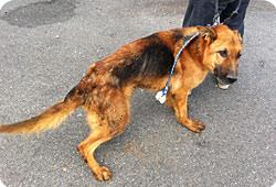 La Fondation saisit des chiens de sécurité maltraités