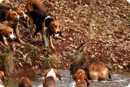 L'hallali d'un cerf lors d'une chasse à courre