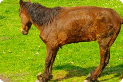 Deux poneys sont mort à l'issu d'un martyre de 3 ans
