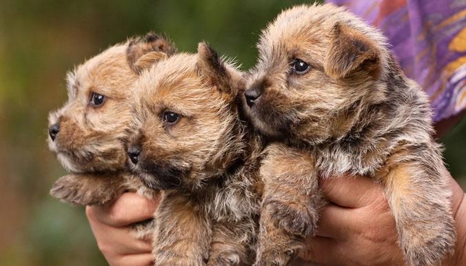 la nouvelle réglementation sur la vente de chiens et chats Chiots-vente-ordonnance-rz