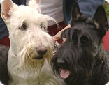 Les Scottish-Terrier